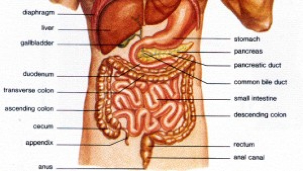 Digestive system facts: Did you know that it defies gravity ...