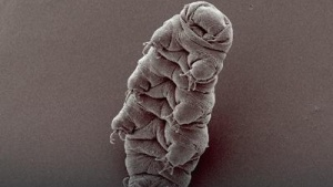 Tardigrade Revived After 30 Years